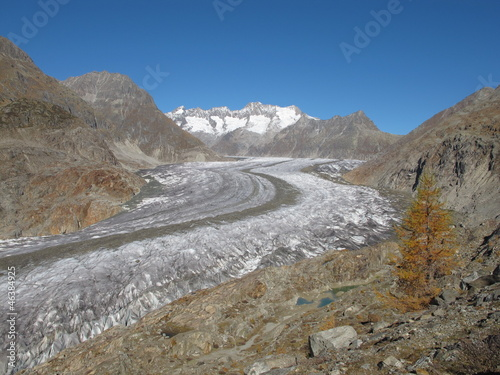 Aletschgletscher And Yellow Larch