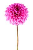 Fototapeta Dahlia flower