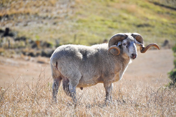 Portrait of a domestic sheep in rural ambiance