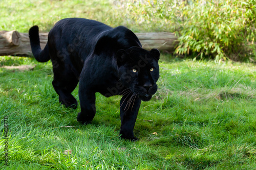 Black Jaguar Stalking through Grass