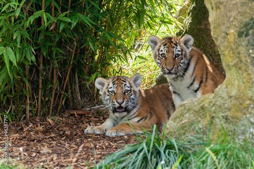 Fotobehang Tijger Two Adorable Amur Tiger Cubs Hiding in Shelter