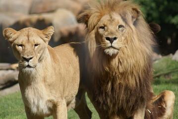 Katanga Lion - Panthera leo bleyenbergh