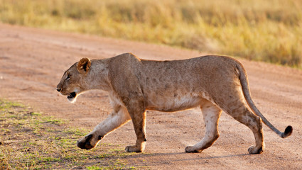 African Lioness in the Maasai Mara National Park, Kenya