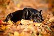 cane corso dog in autumn fallen leaves