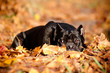 cane corso dog lying in fallen leaves