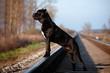 cane corso dog on the railway