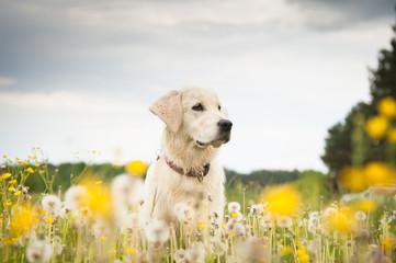 Golden retriever in flowers