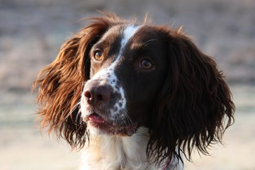 cute Working type english springer spaniel gundog