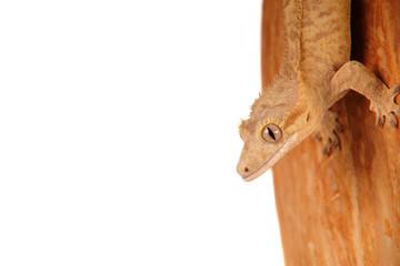 Gecko Reptil Lizzard echse eidechse Kronengecko