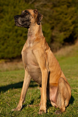 great dane sitting looking left