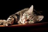 beautiful European cat in front on a black background