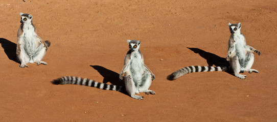 Ring Tailed Lemurs oin Madagascar