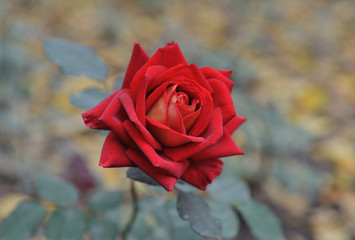 beautifull red rose on blur background