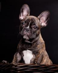 French bulldog puppy, 3,5 mounth old, on black