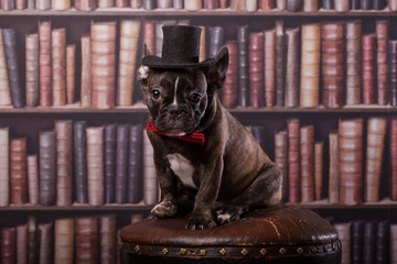 Cute french bulldog puppy with old-fashioned hat