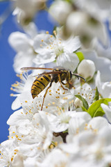 Wasp Collecting Pollen