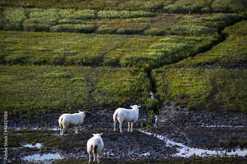 Dutch sheep on pasture
