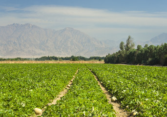 Plantation of melons in desert of Arava