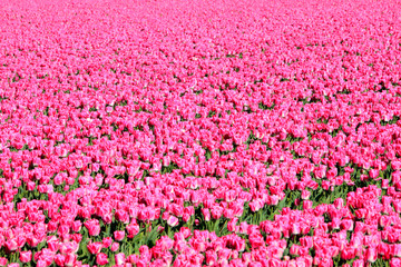 Field of pink tulips. Foliage. Abstract background.