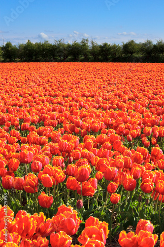 Field of red tulips with blue sky.