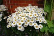 beautiful white Leucanthemum flowers