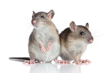 Rats on white background