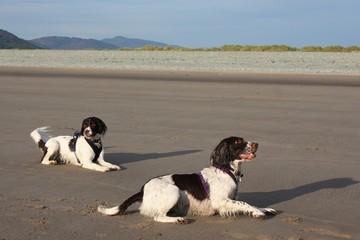 two english springer spaniel gundogs playing on a sandy beach
