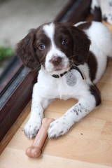 A very cute working type english springer spaniel gundog puppy