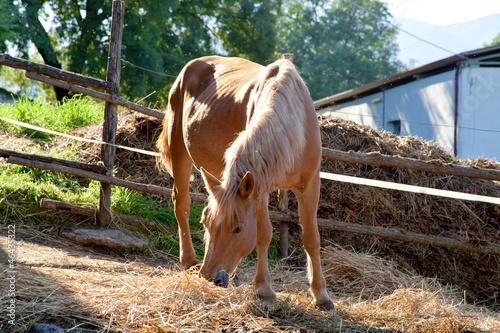 cavallo che mangia il fieno