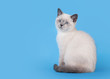 small blue color point british kitten on light blue background