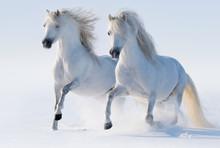 Deux galop des chevaux blancs comme neige