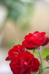 情熱的な赤いバラ
