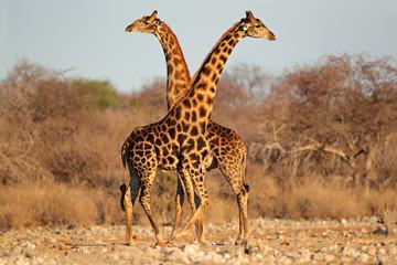 Giraffe bulls, Etosha National Park