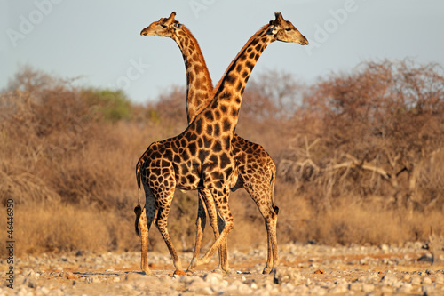 Fototapeta Giraffe bulls, Etosha National Park