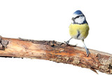 perching blue tit