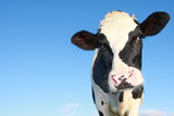 holstein cow against blue sky - Fine Art prints
