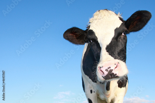 Deurstickers Koe holstein cow against blue sky