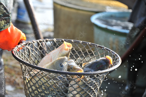 carps in a landing net - close up