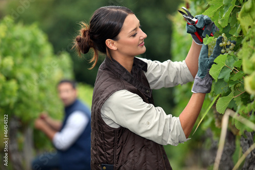 Couple pruning grape vines