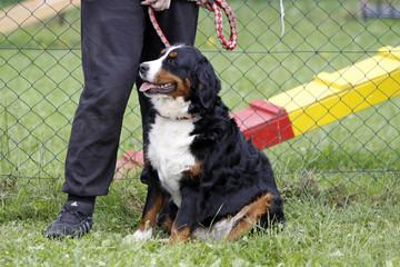 Berner Sennenhund bei einer Hundeausstellung