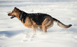 dog ruuning on the snow