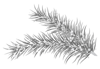 Vector illustration of silver fir branches