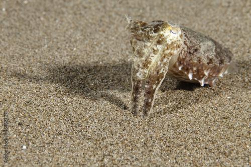 Sepia aculeata Needle Cuttlefish