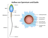 structure sperm and ovum german