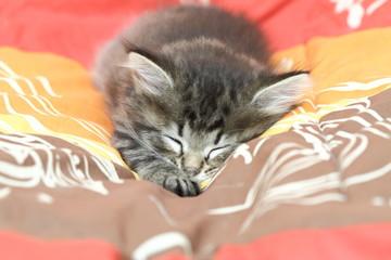 Cucciolo di siberiano dorme su coperta colorata