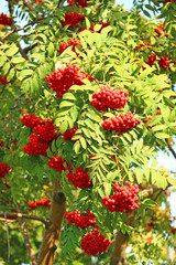 Rowan branches with bright berries