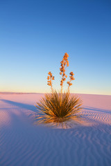 Yucca at Sunset, White Sands National Monument