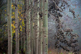 Aspen trees in autumn