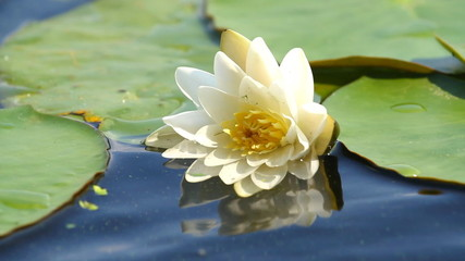 Beautiful water lily .