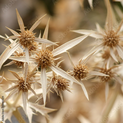 detail of dried up flower heads with spikes